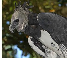 The Harpy Eagle, Panama's national bird